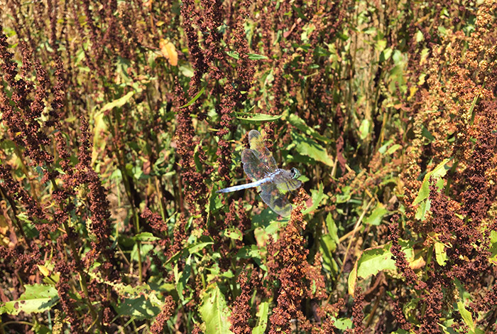 Image of a dragonfly on Rumex