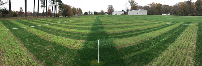 Panorama of pollinator establishment plots with cool season cover (wheat on left, oats on right) with PMC buildings in the far background