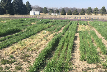 Cereal rye varieties expressing drastically different characteristics in spring of 2018, planted on the same date in the fall of 2017.