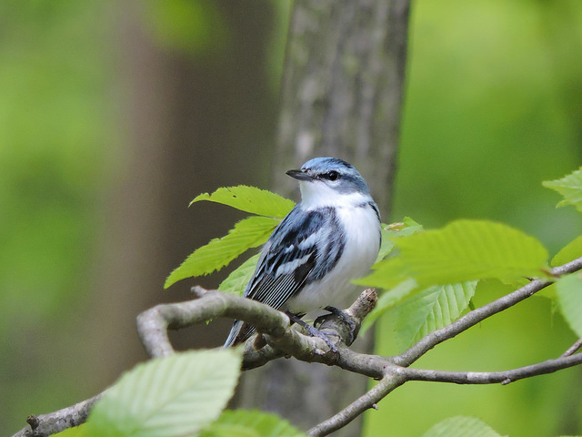Cerulean warblers spend part of the year in the Appalachian Mountains of North America as well as the Andes Mountains of South America.
