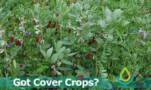 Photo of six-way cover crop mix in bloom at the Corvallis, Oregon Plant Materials Center in May 2016.
