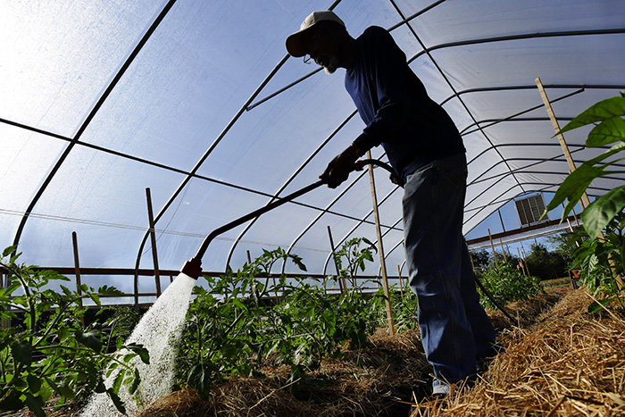 Farm director William Byrd waters tomatoes at White Harvest Farm. The produce from the farm is sold in the neighborhood farmers market and prepared to feed the homeless at the Clara White Mission in Jacksonville, Fla.
