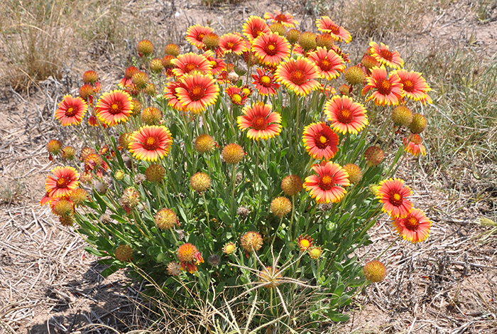 Photo of an Indian blanket plant in full bloom of yellow and red flowers with a shortspike windmillgrass plant in front covered in seedheads.