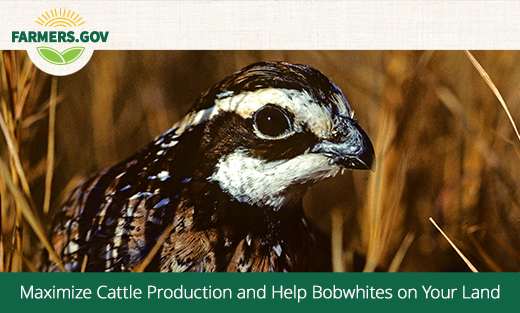 Beef and 'Bobs' – Maximize Cattle Production and Help Bobwhites on Your Land