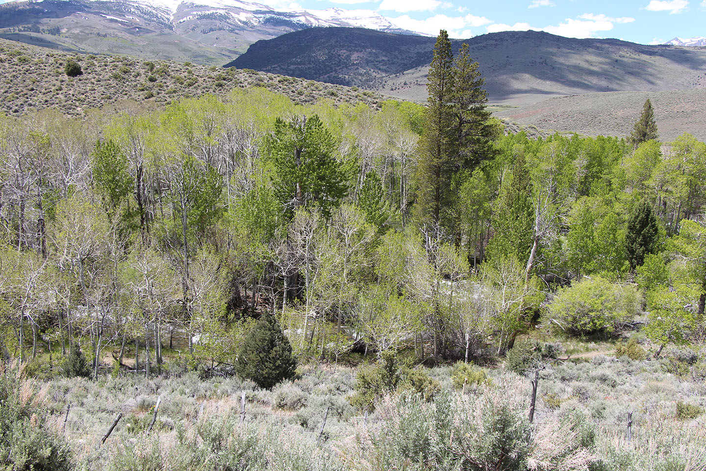 Conifer encroachment of the bigger pines, like Jeffrey pines and Lodgepole pines, is one of the biggest threats to aspen stands
