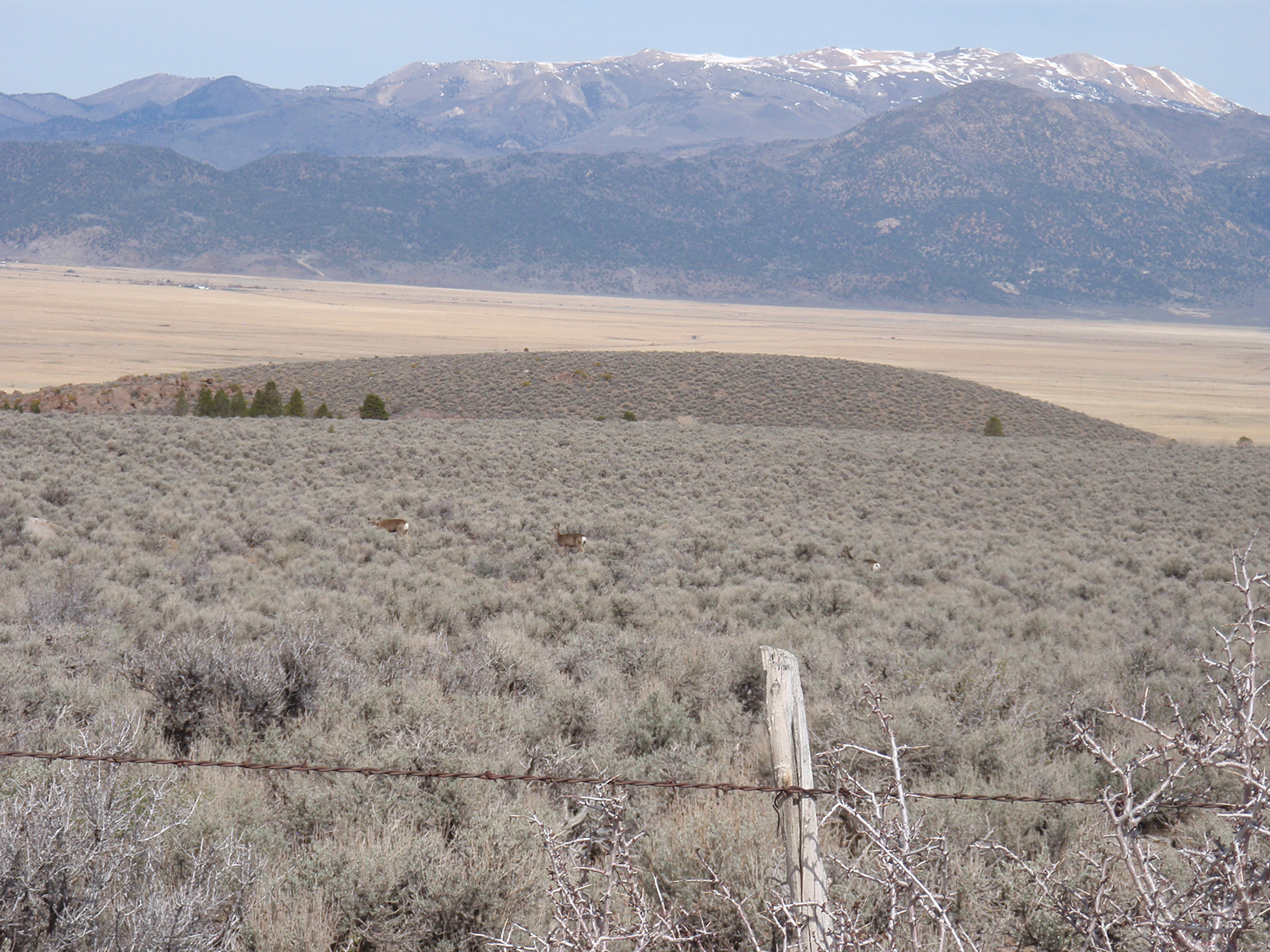 Mule deer walk among the sagebrush sea at Sceirine Point Ranch