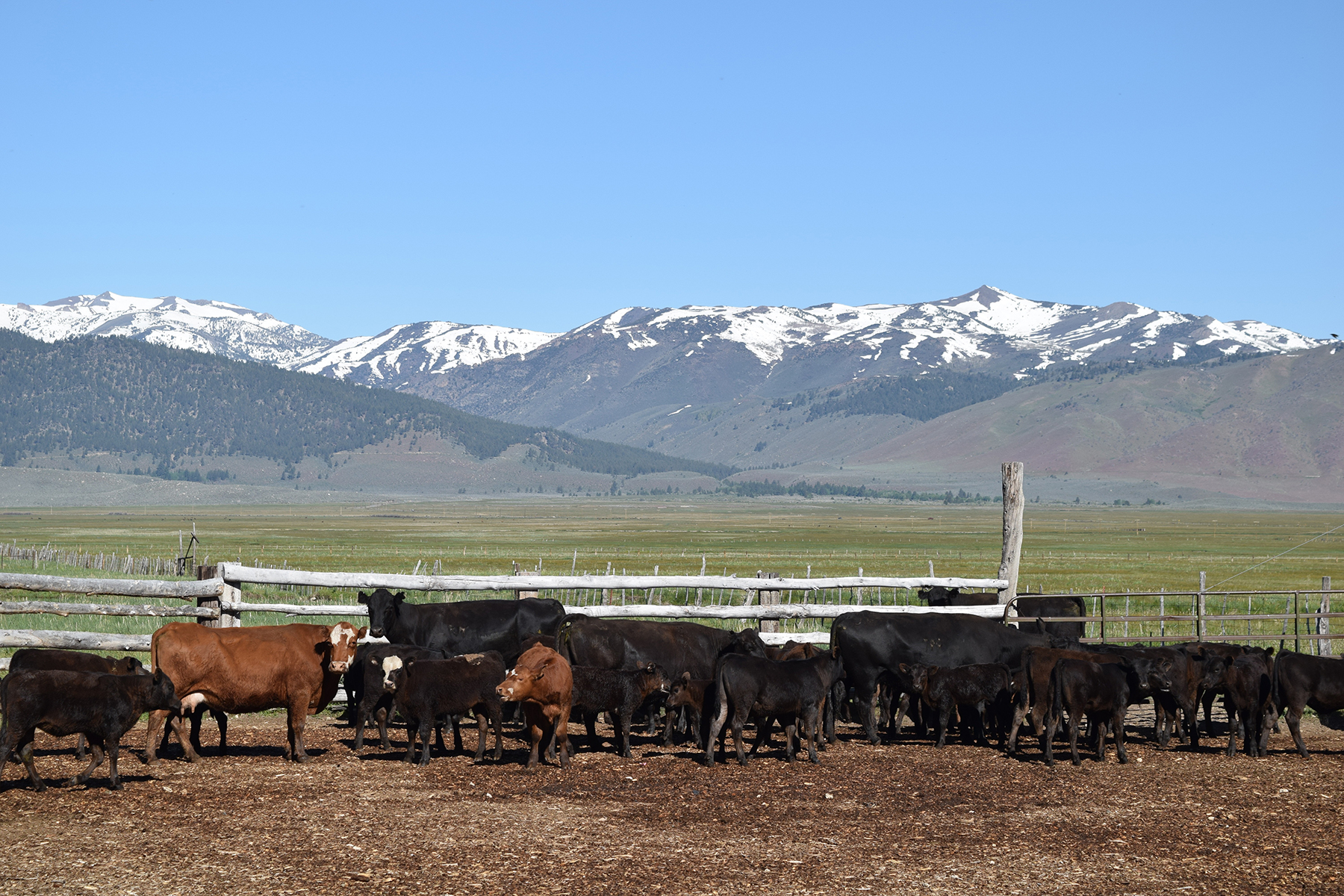 cows at Sceirine Point Ranch