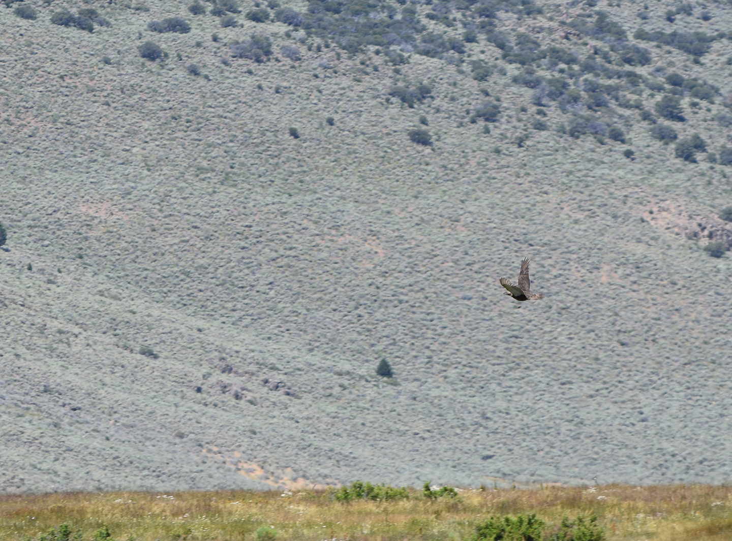 A sage-grouse takes flight at Sceirine Point Ranch
