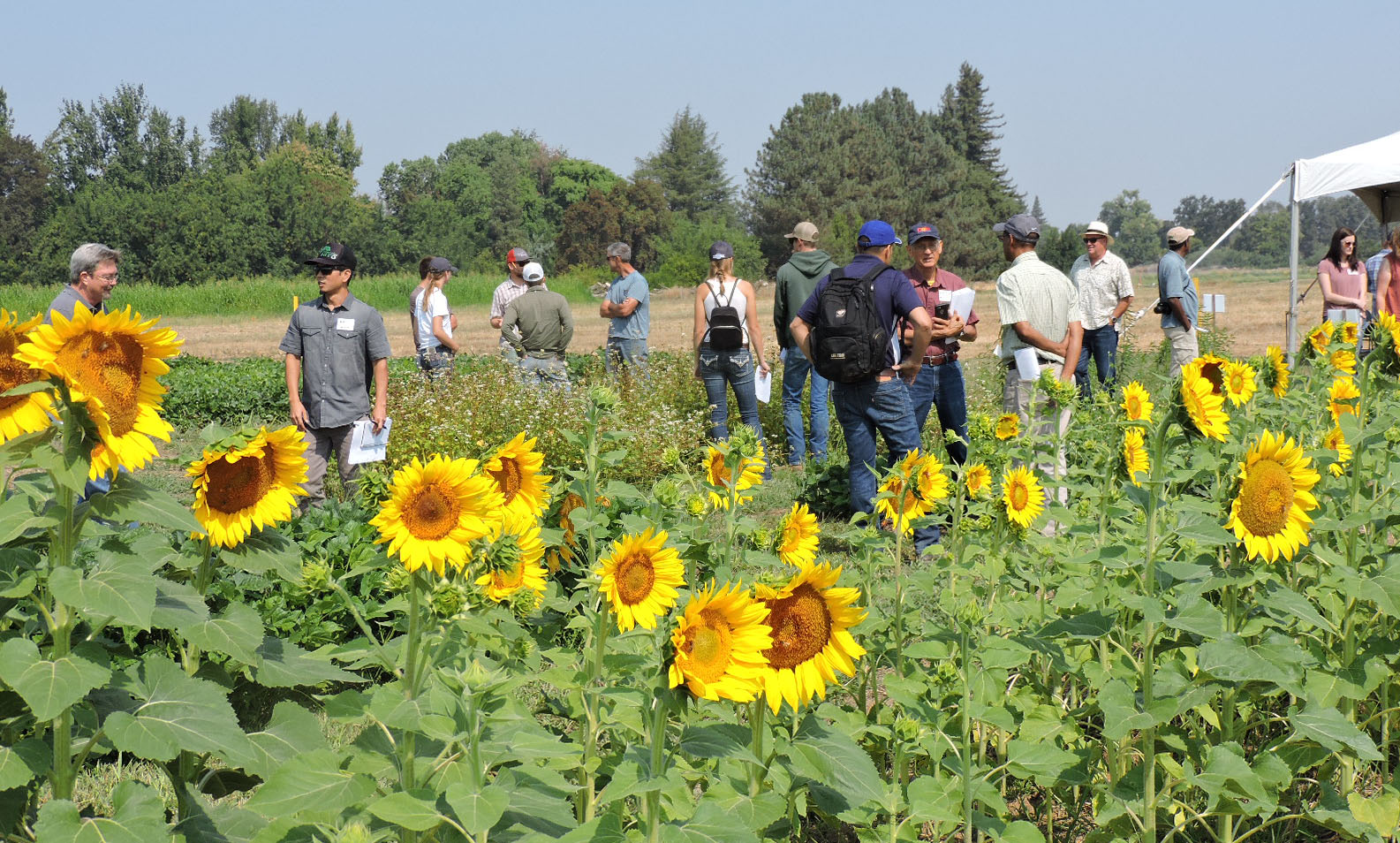 In the foreground is a plot of sunflowers with large blooms and yellow petals facing the camera, groups of producers and NRCS stand looking at the warm season cover crop plots under a clear blue sky.