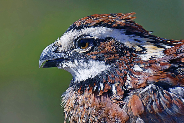 A male northern bobwhite quail.