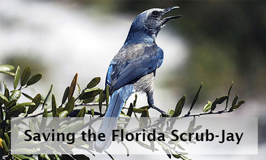 Scrub-jays are members of the Corvidae family of birds that includes crows, ravens, magpies and jays in North America.