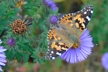 A painted lady butterfly feeds on the flower of a New England Aster plant