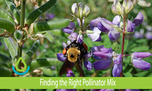 Finding the Right Pollinator Mix banner image showing a native bumble bee feeds on riverbank lupine (Lupinus rivularis) in a pollinator planting at the Corvallis, Oregon Plant Materials Center in May 2016.