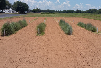 This is an image showing Coastal Plains Germplasm little bluestem and pinehill bluestem in adpatation trials with other commercial little bluestem releases at the Jimmy Carter PMC in Georgia.