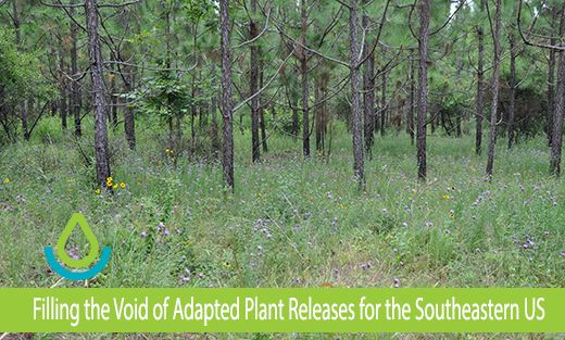 This is an image of the understory at the Winston Tree Farm in Nacogdoches, Texas in a young stand of longleaf pine showing diversity of grasses, forbs, and legumes.