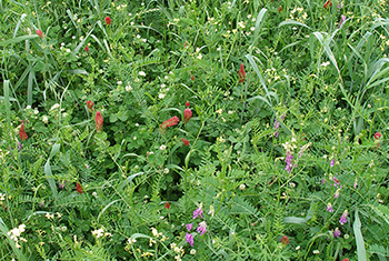 Image of a closeup of mixed cover crop plant species in bloom.