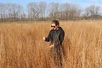 Mollie Herget, agronomist, evaluating seed production in a field of Ozark Germplasm little bluestem