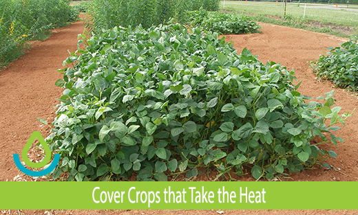 Banner image of Cover Crops Take the Heat iron and clay cowpea plot in Americus, GA
