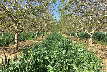 Image of a walnut grove with mixed  cover crop species planted between the rows of walnut trees.