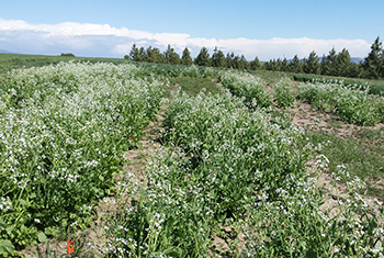Image of radish cover crop trial in bloom with white flowers in plots with trees in the background.