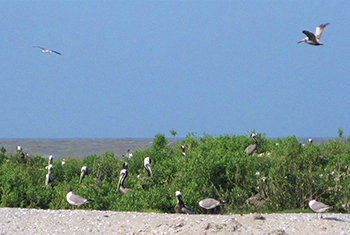 Photo of Brown Pelicans nesting on and flying over a restored site on Raccoon Island, a barrier island located in Terrebonne Parish, LA