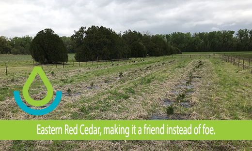 Feature banner Eastern Red Cedar, making it a friend instead of a foe