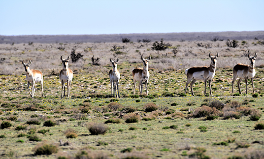 Photo of Female Antelopes out on the range
