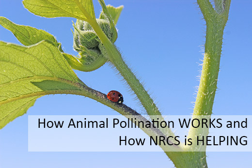 Pollination Works NRCS Helping _Lady bug