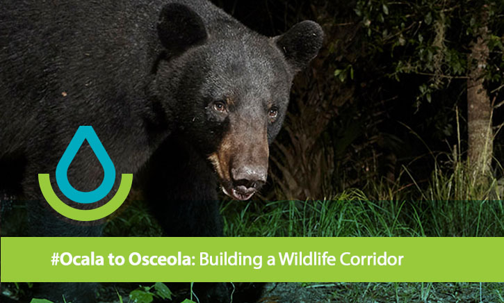 The Ocala to Osceola Wildlife Corridor connects habitat supporting the Florida black bear, the red-cockaded woodpecker, eastern indigo snake and gopher tortoise.