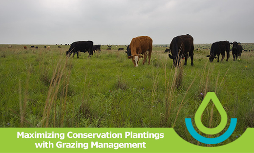 Banner image of the feature article, Maximizing Conservation Plantings with Grazing Management