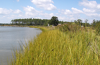 Marshes contain highly productive plants with typically stable sediments, resulting in significant pools of stored carbon.