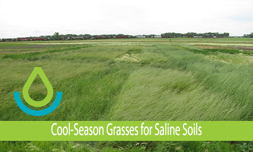 Image of Carrington, ND saline site 6 years after seeding cool-season perennial grass species with greater saline tolerance
