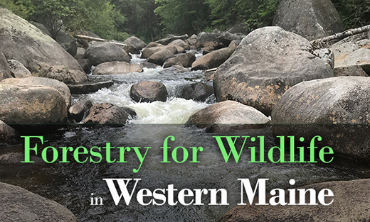 Forestry for Wildlife in Western Maine