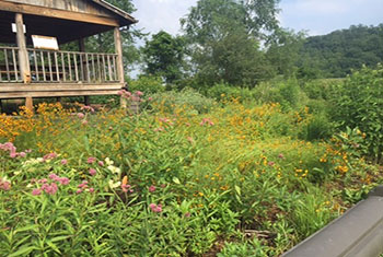 Old Crow Wetland after three years. Many colorful flowers can be seen and attract many species of pollinators.