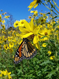 Monarch migration. Photo credit: The Xerces Society, Kelly Gill