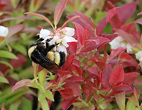 Yellow banded bumble bee (Bombus terricola) on a wild blueberry (Vaccinium angustifolium) blossom. Photo Credit: Dan VanWart, Peaked Mountain Farm
