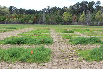 Hairy vetch varieties at the Jamie. L. Whitten Plant Materials Center, Coffeeville, Mississippi.