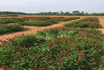 Crimson clover evaluation plots at the Jimmy Carter Plant Materials Center in Americus, GA