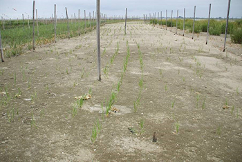 Drill Seeding of smooth cordgrass provides a cost effective method for estuary restoration.