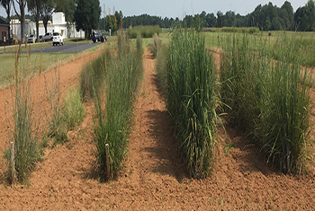 From left to right: Indiangrass selections at Jimmy Carter Plant Materials Center, Americus, GA including 'Cheyenne',  'Rumsey', 'Americus', and Wynia Germplasm)