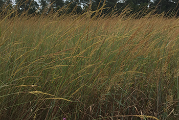 Indiangrass plant with seed heads in early fall growing at JCPMC