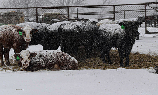 Cattle Bunched up to stay warm