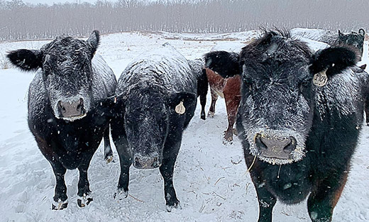 Black Angus Cattle in a field of snow