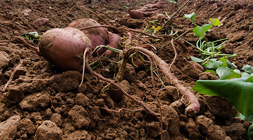 Freshly-dug potatoes, resting on the ground.
