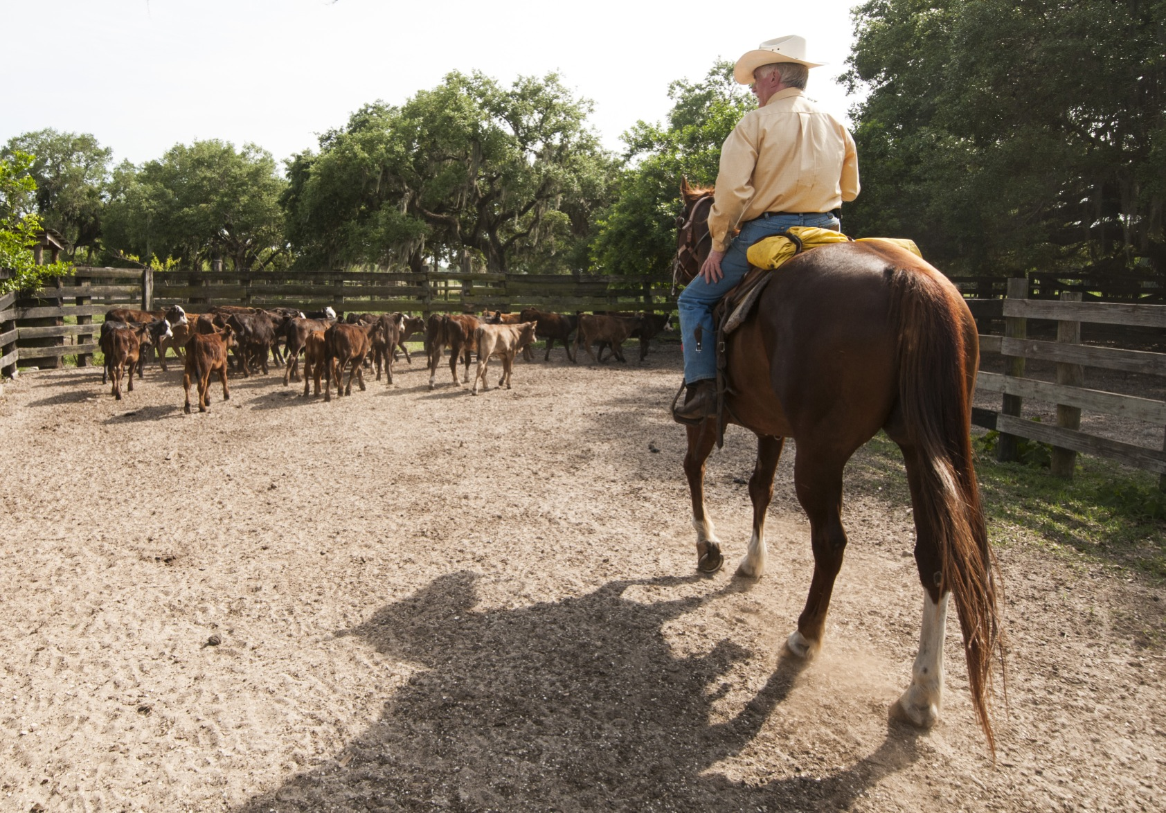 Dwayne House rounds up calves on Goodno Ranch, about eight miles east of LaBelle, Fla. NRCS photo by