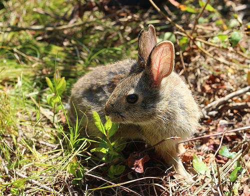 A New England cottontail is a candidate for listing under the Endangered Species Act. Photo by the U
