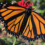 Endangered Monarch Butterfly
