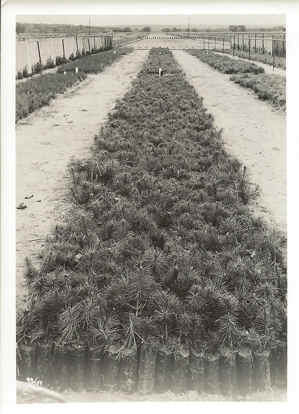 Newly potted ponderosa pine at Manhattan SCS Nursery, May 10, 1941