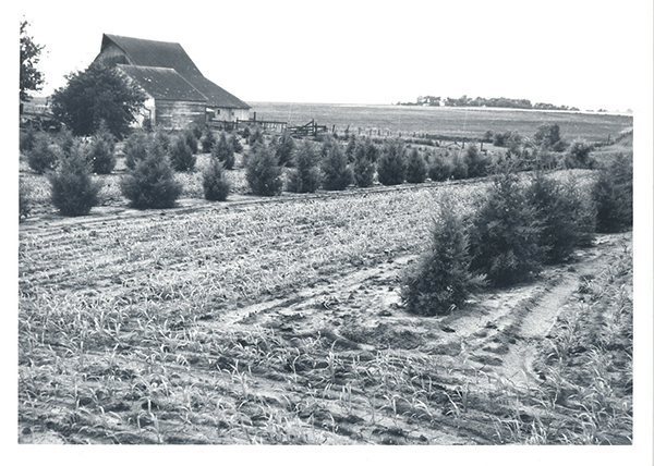 Young farmstead shelterbelt, rows of eastern red cedar interplanted with sedan grass cover.