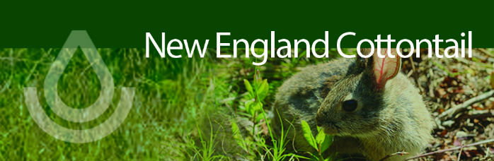 wlfw new england cottontail banner